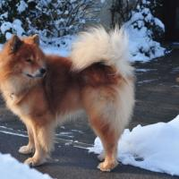 Following pictures of my Eurasier-dogs, here: Eyko-Jacomo vom Bahnhof-Zoo.